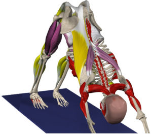 yoga_anatomy
